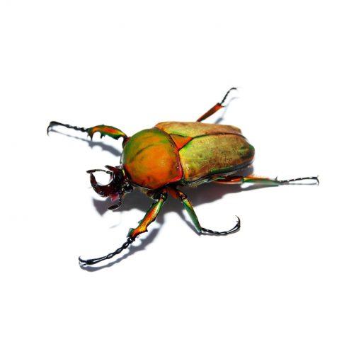 Compsocephalus preussi | lárva
