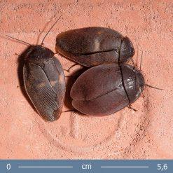 Ergaula capucina Burmai bogárutánzó csótány