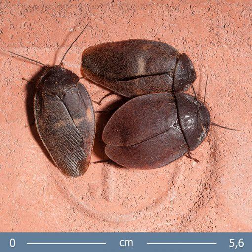 2   Ergaula capucina Burmai bogárutánzó csótány