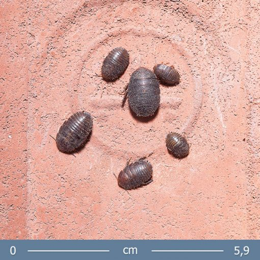 1   Ergaula capucina Burmai bogárutánzó csótány
