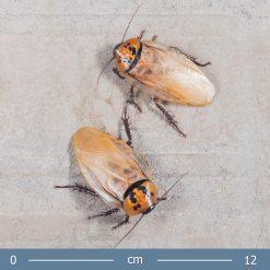 2 | Eublaberus posticus - Aranycsótány
