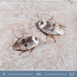 2 | Gyna caffrorum - Krómcsótány