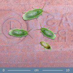2 |Panchlora sp. giant - Óriás zöld banáncsótány
