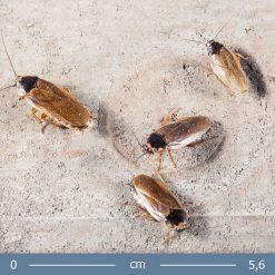 Phoetalia pallida- Fakó csótány