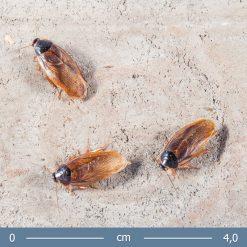 2 | Pycnoscelus femapterus - Femapterous csótány