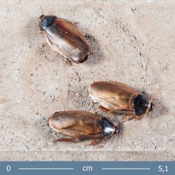 2 | Pycnoscelus indicus | Indiai csótány