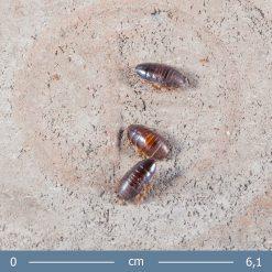 1 | Pycnoscelus nigra - Árnyék csótány