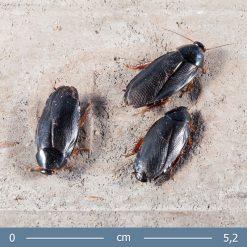 2 | Pycnoscelus nigra - Árnyék csótány