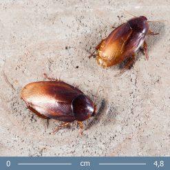 2 | Pycnoscelus striatus - Parázs csótány