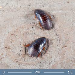 1 | Pycnoscelus surinamensis - Szurinami csótány