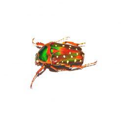 Stephanorrhina guttata aschantica | lárva - 3 db
