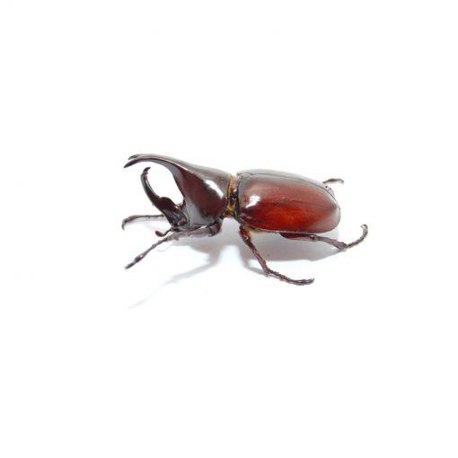 Xylotrupes gideon sumatrensis   pár