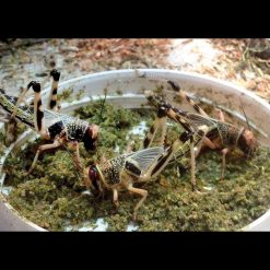 Arcadia Earth Pro Insect Fuel Eleségállattáp | 50g