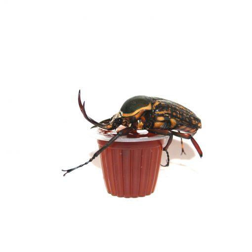 Bogárzselé - Beetle Jelly | Barna cukor