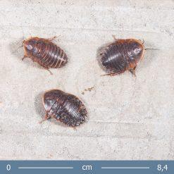 2 | Hemiblabera brunneri - Brunneri vörös csótány