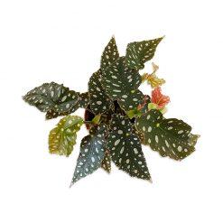Bugs-World Begonia maculata wightii Pöttyös begónia