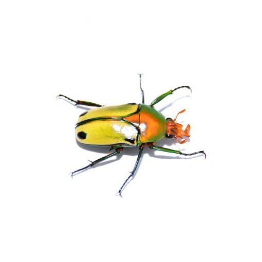 Coelorrhina pythia | imágó