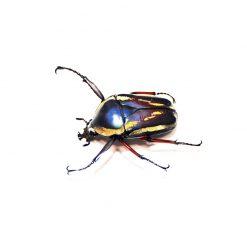 Dicronorhina derbyana conradsi | 4 lárva