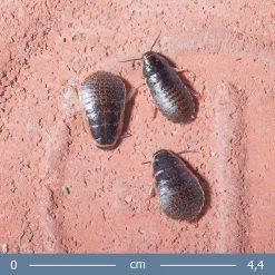 1 | Törpe sziszegő csótány - Elliptorhina chopardi