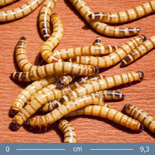 gyaszbogar-larva-02-bugs-word