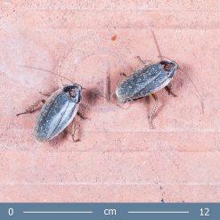 Henschoutedenia flexivitta - Óriás homárcsótány
