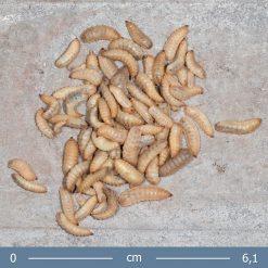 katonalegy-larva-hermetia-illucens-calci-worm