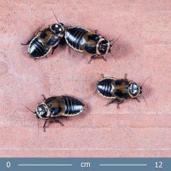 2 | Lucihormetica verrucosa - Világos szemfoltos csótány