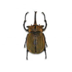 Megasoma occidentalis   lárva