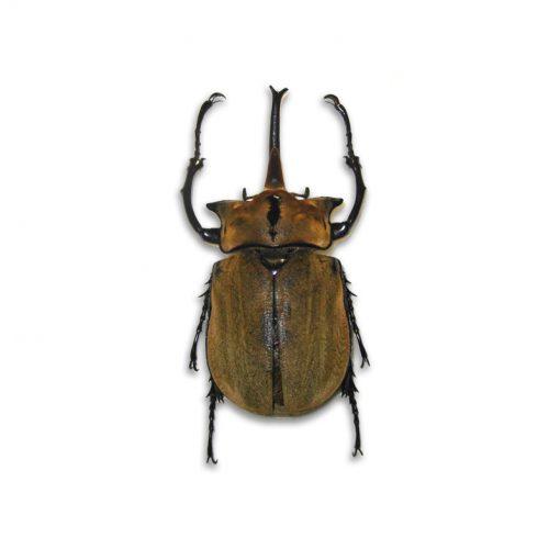 Megasoma occidentalis | lárva
