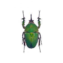 Mecynorrhina torquata immaculicollis | pár