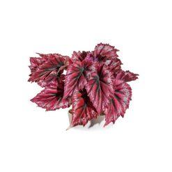 Bugs-World Begonia rex királybegónia természetes műnövény