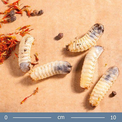 rozsabogar-larva