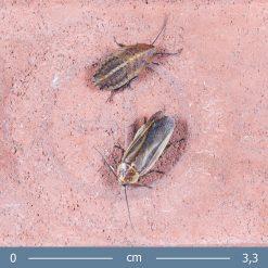 Schultesia lampyridiformis - Szentjánosbogár utánzó csótány