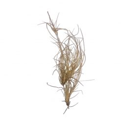 Bugs-World Desert Grass Természetes sivatagi fű dekoráció