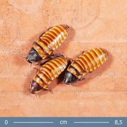 3 | Törpe sziszegő csótány - Elliptorhina chopardi